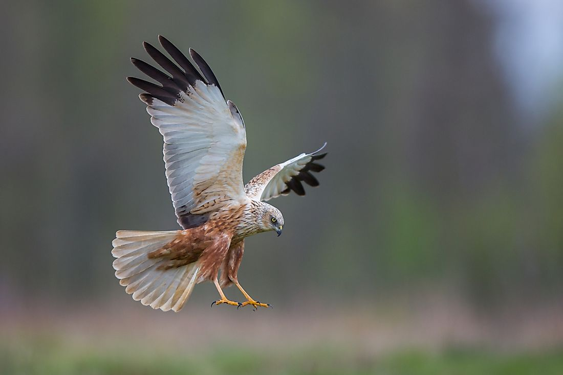 A List Of Birds Of Prey Or Raptors Worldatlas
