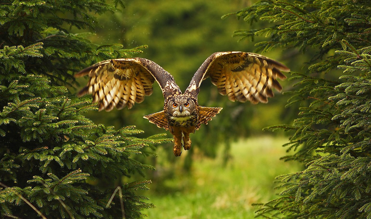 The Eurasian eagle-owl flying in the forest in the mountains low tatra. Image credit: Jan_Broz/Shutterstock.com