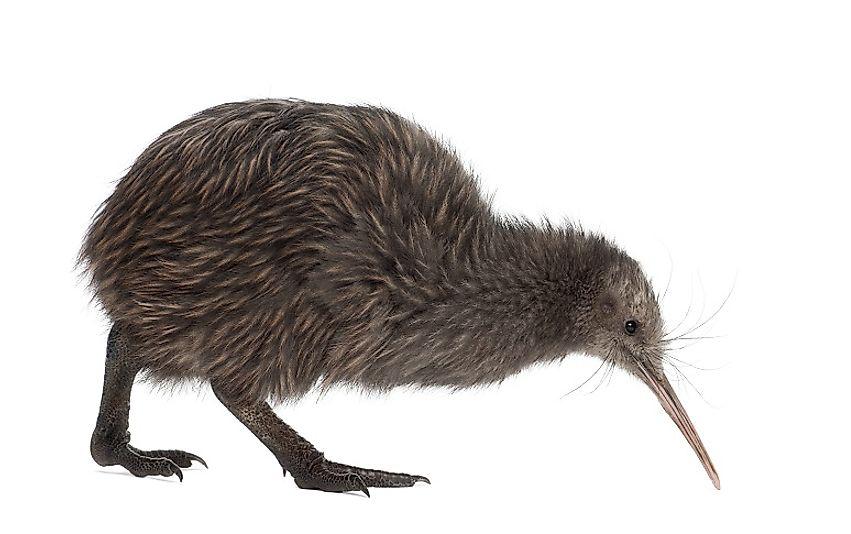 #8 Kiwi