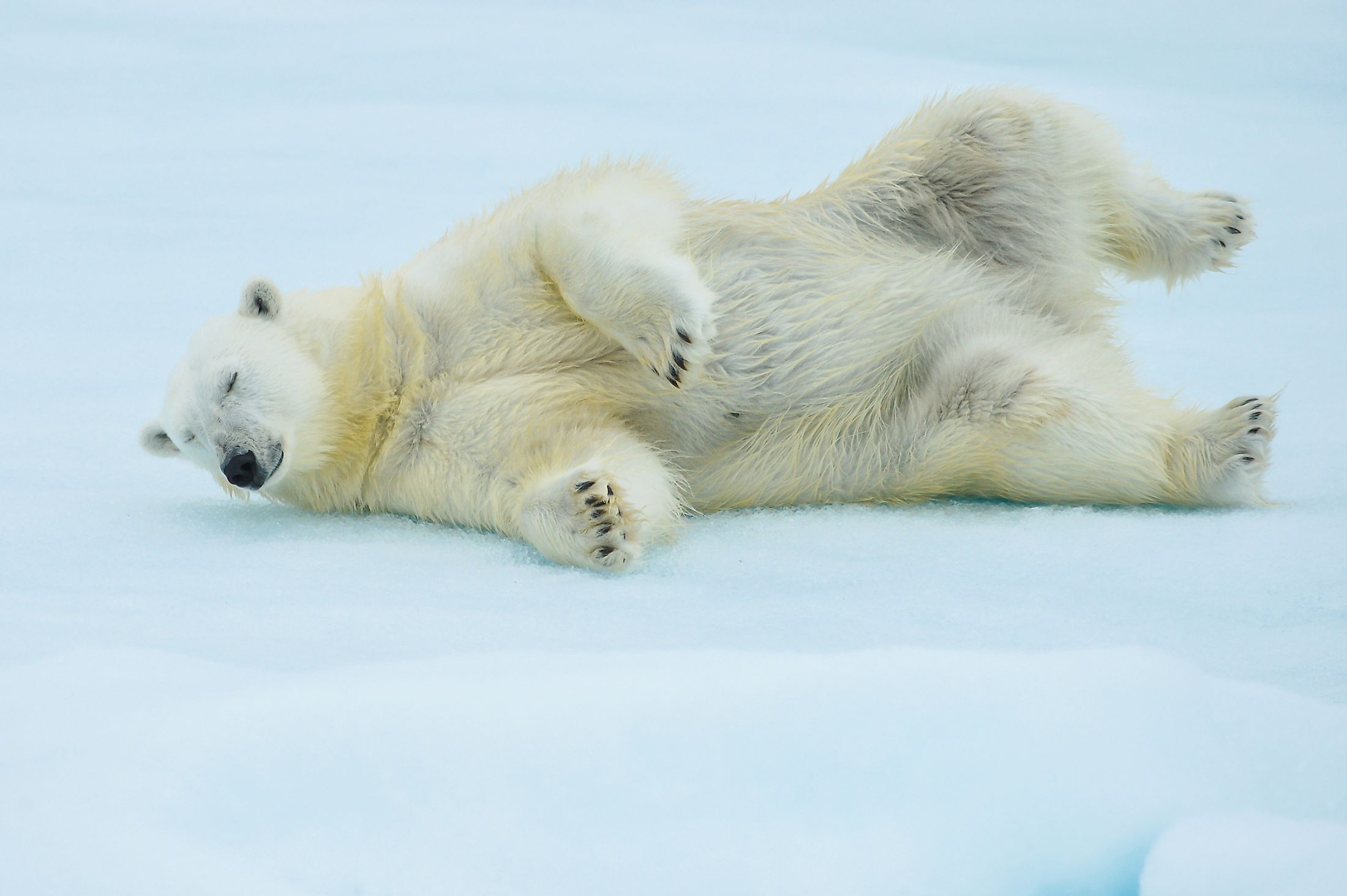A polar bear rolling in the Arctic snow after a swim. Image credit: FloridaStock/Shutterstock.com