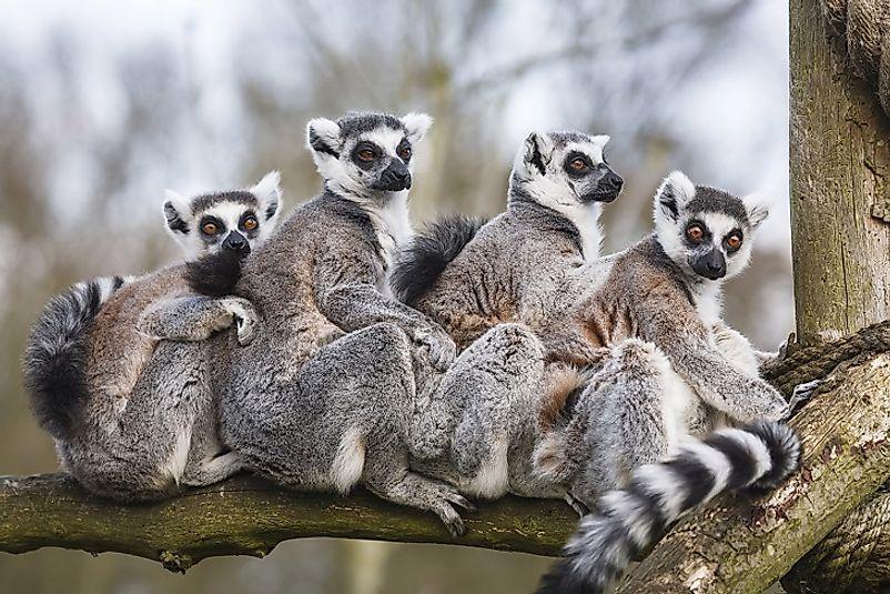 #7 Lemur