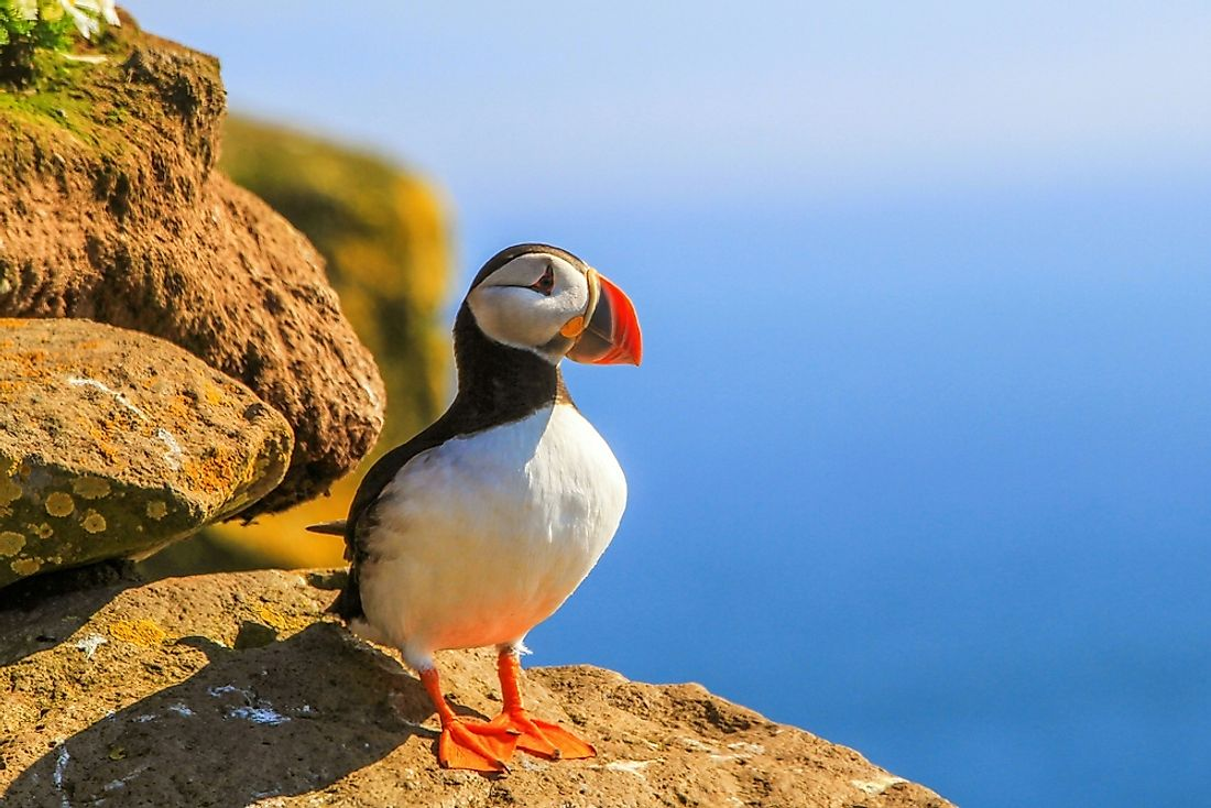 A puffin basking in the sun. Puffins can be found throughout the North Atlantic and North Pacific oceans.