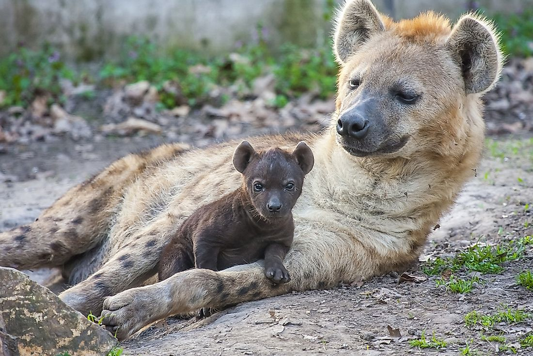 Spotted hyena (Crocuta crocuta) mother and baby resting together