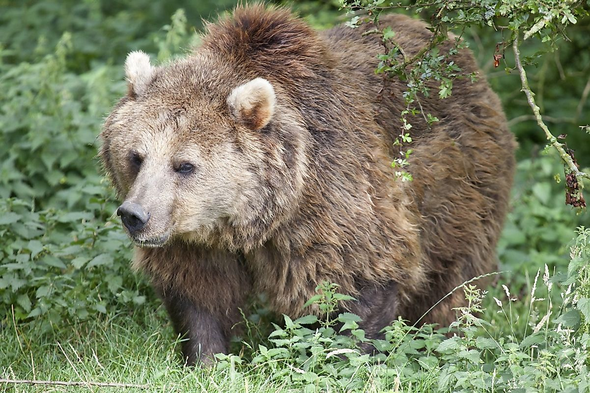 Select Eurasian brown bears have been recorded as weighing more than 1,000 pounds.