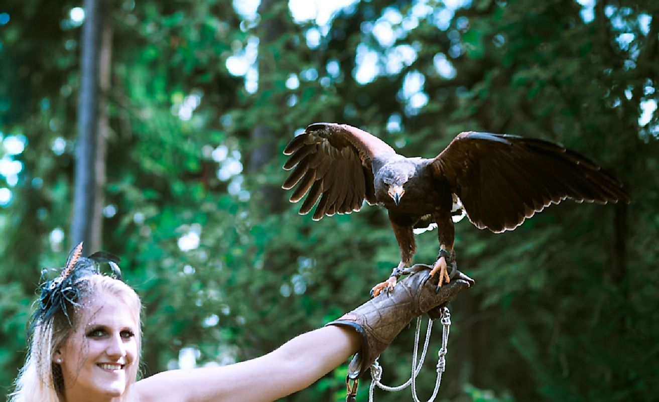 The Harris's hawk's intelligence and hunting proficiencies have made it into a choice hunting companion for falconers the world over.