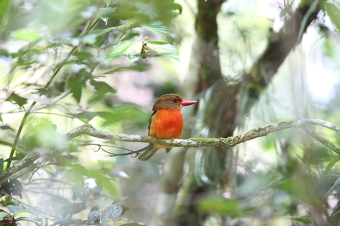 A Brown-Headed Paradise Kingfisher in Papua New Guinea.