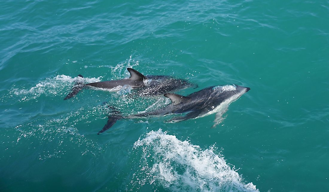 Hector's dolphin is the only cetacean native to New Zealand.