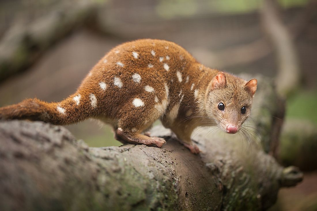 The tiger or spotted quoll is the largest of the six species.