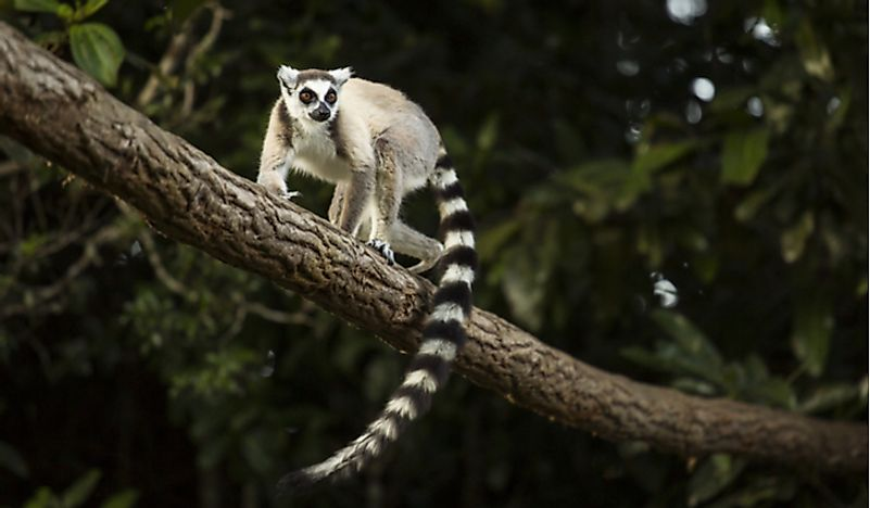 A lemur in Madagascar. Habitat destruction is one of the many factors facing this species that is very vulnerable to extinction. Photo credit: Shutterstock.