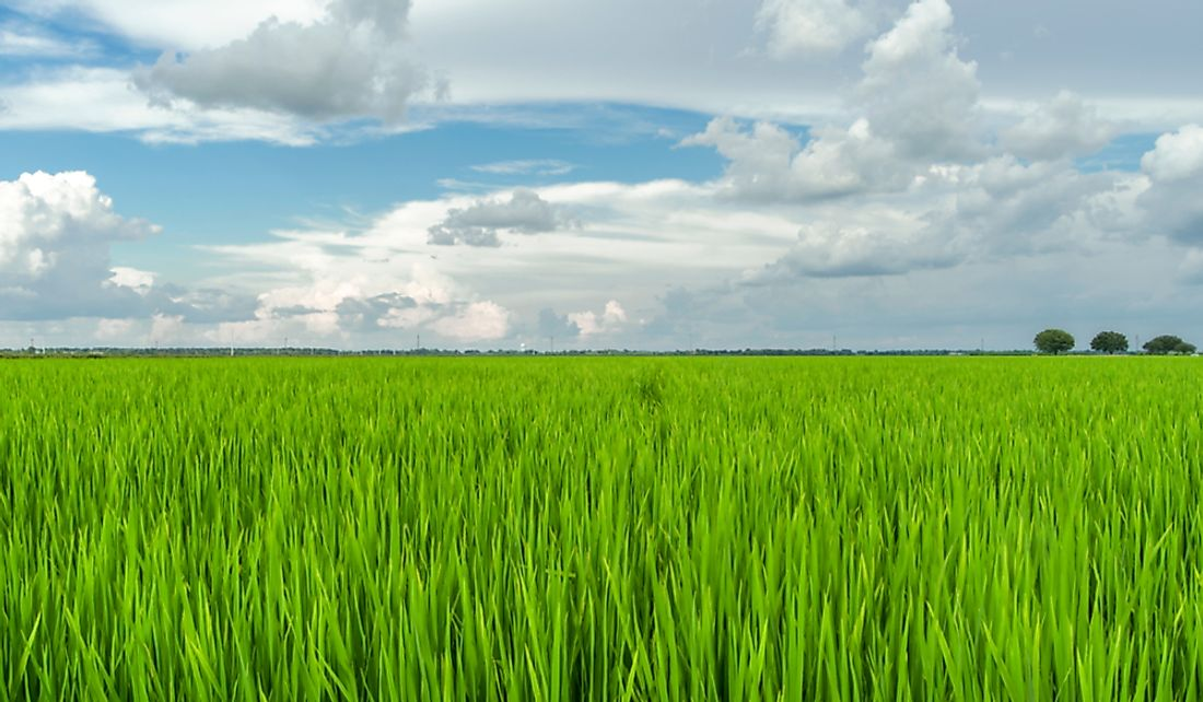 Rice field in Texas, US.