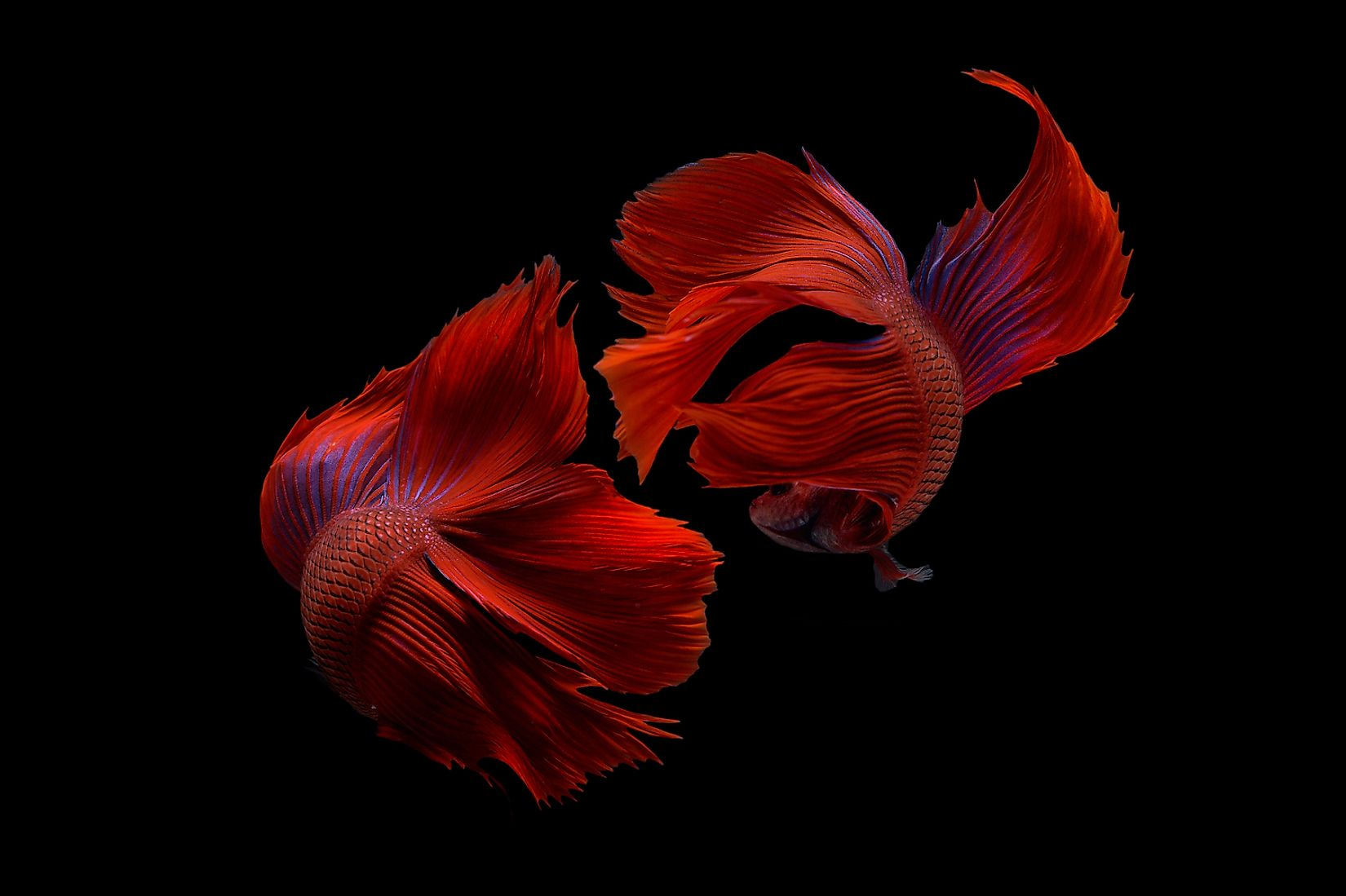 Two betta fish, siamese fighting fish (Halfmoon betta )isolated on black background. Image credit: Hoang Trung Hon/Shutterstock.com
