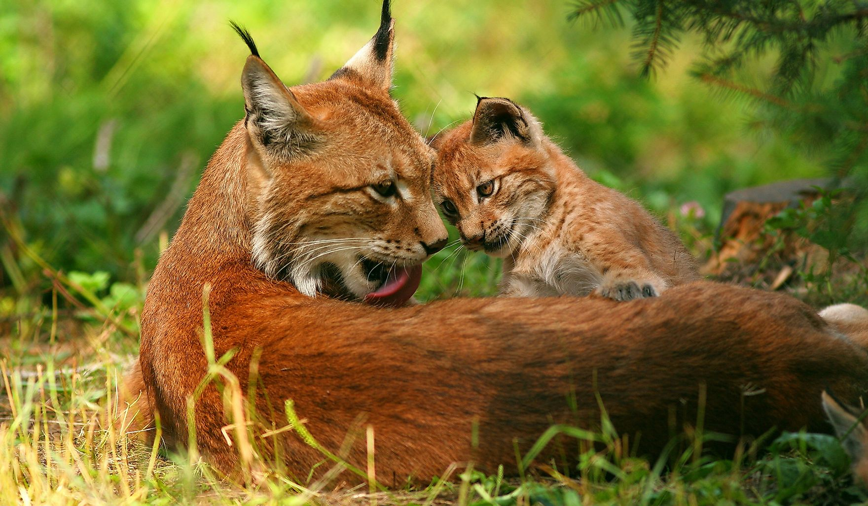A female European lnyx with its cub.