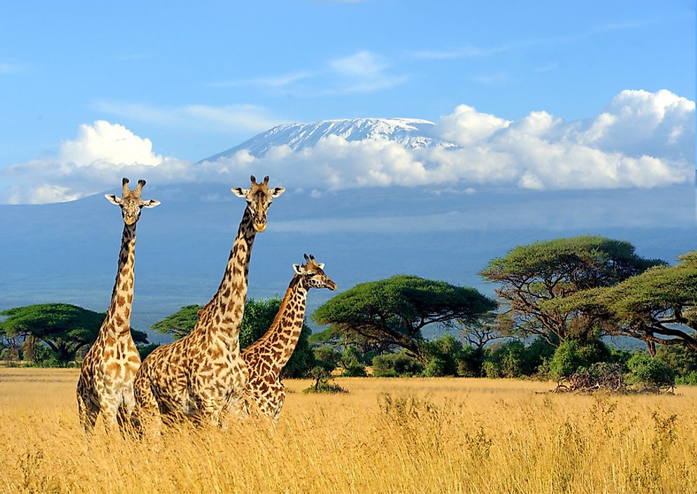 Giraffes in Kenya's Nairobi National Park.