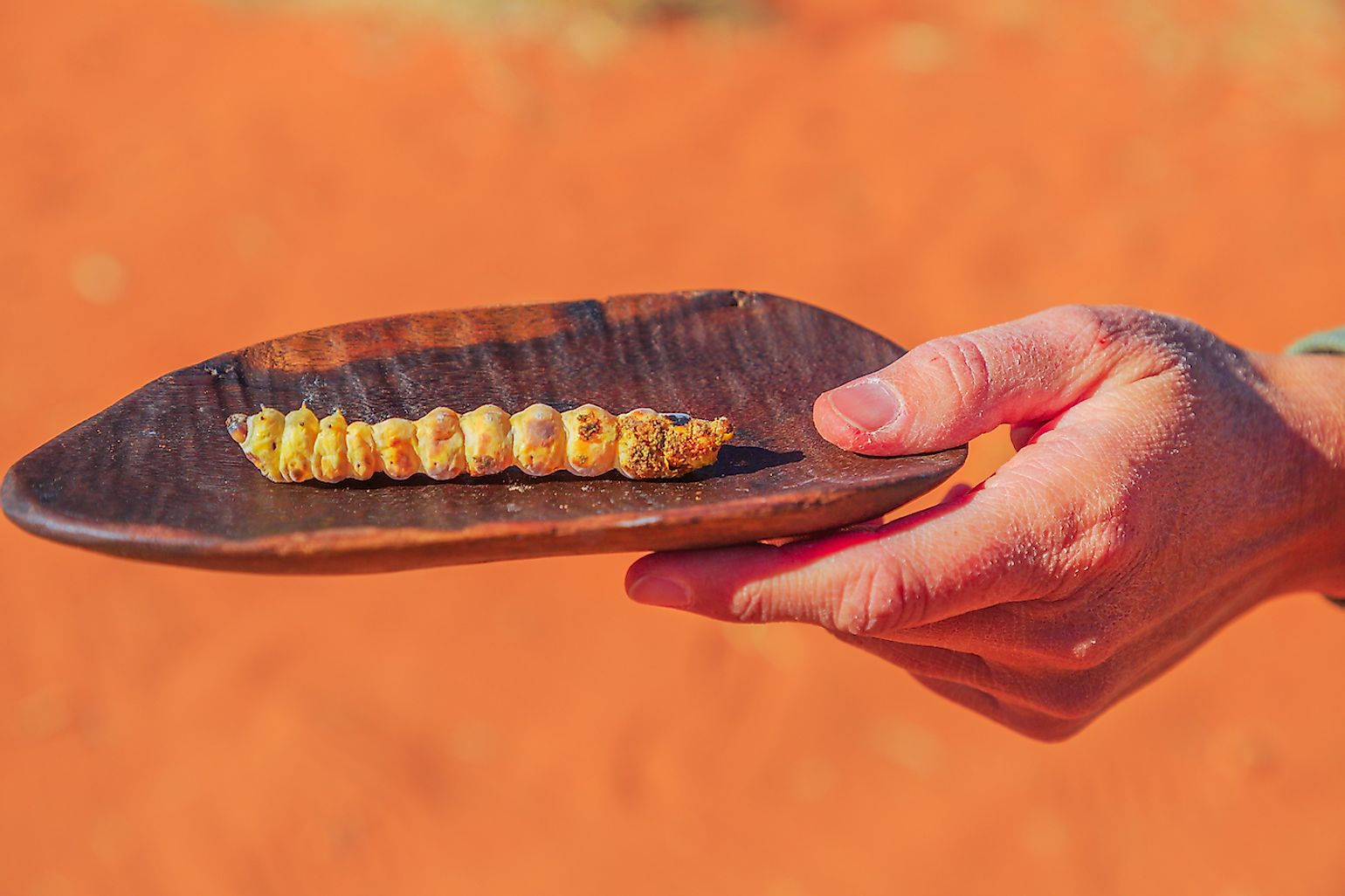 Grilled Witchetty grub larvae. Image credit: Benny Marty/Shutterstock.com
