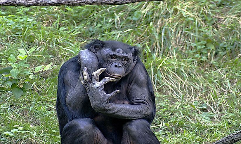 Foraging Postures Are A Potential Communicative Signal In Female Bonobos