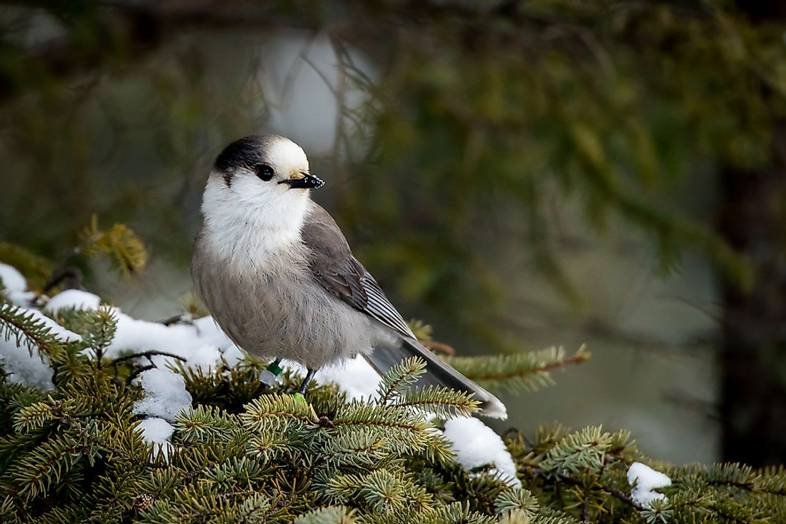 The gray jay has been determined by the National Geographic of Canada to be the national bird of Canada.