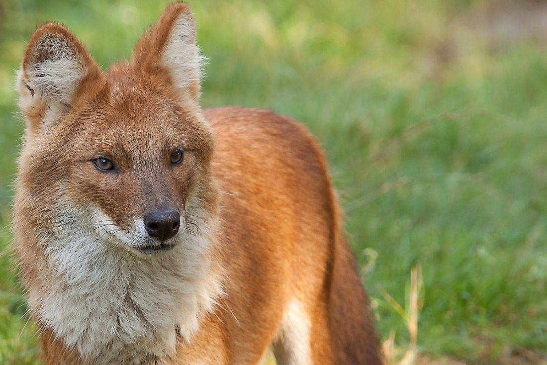 A dhole. The dhole is an example of an endangered mammal in Kyrgyzstan.
