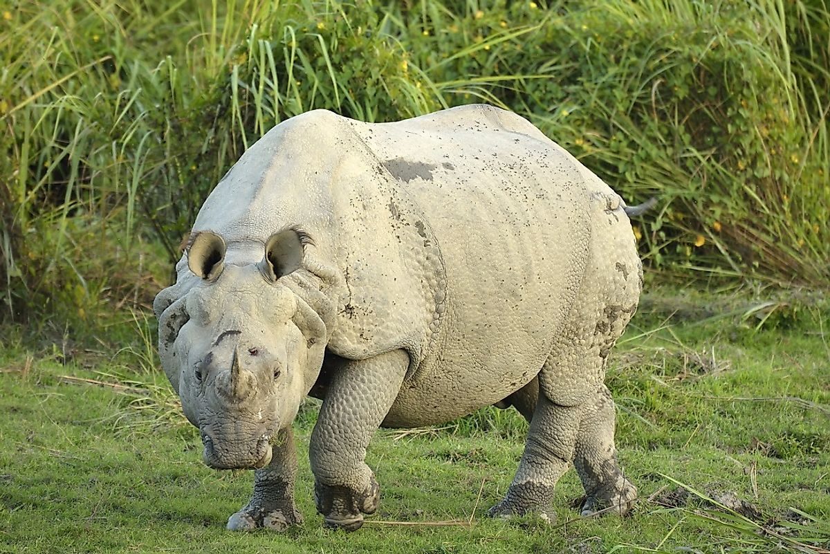 "Habitat fragmentation and human hunting have left the Indian rhinoceros, such as this one in India's Kaziranga National Park, classified as a ""Vulnerable"" species"