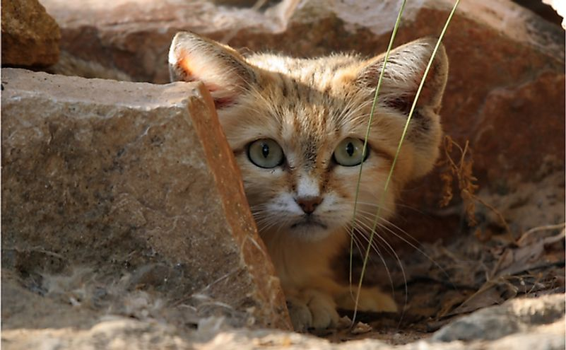 The sand cat is a small wild felid that is found in the deserts of Jordan.