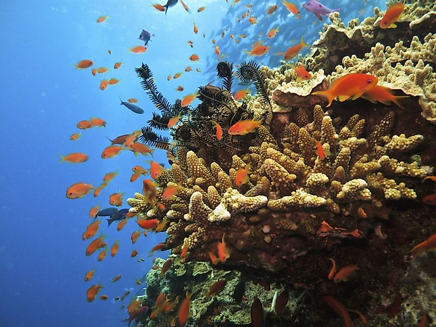 Soldier fish swim amidst a coral colony in Australia's Great Barrier Reef.