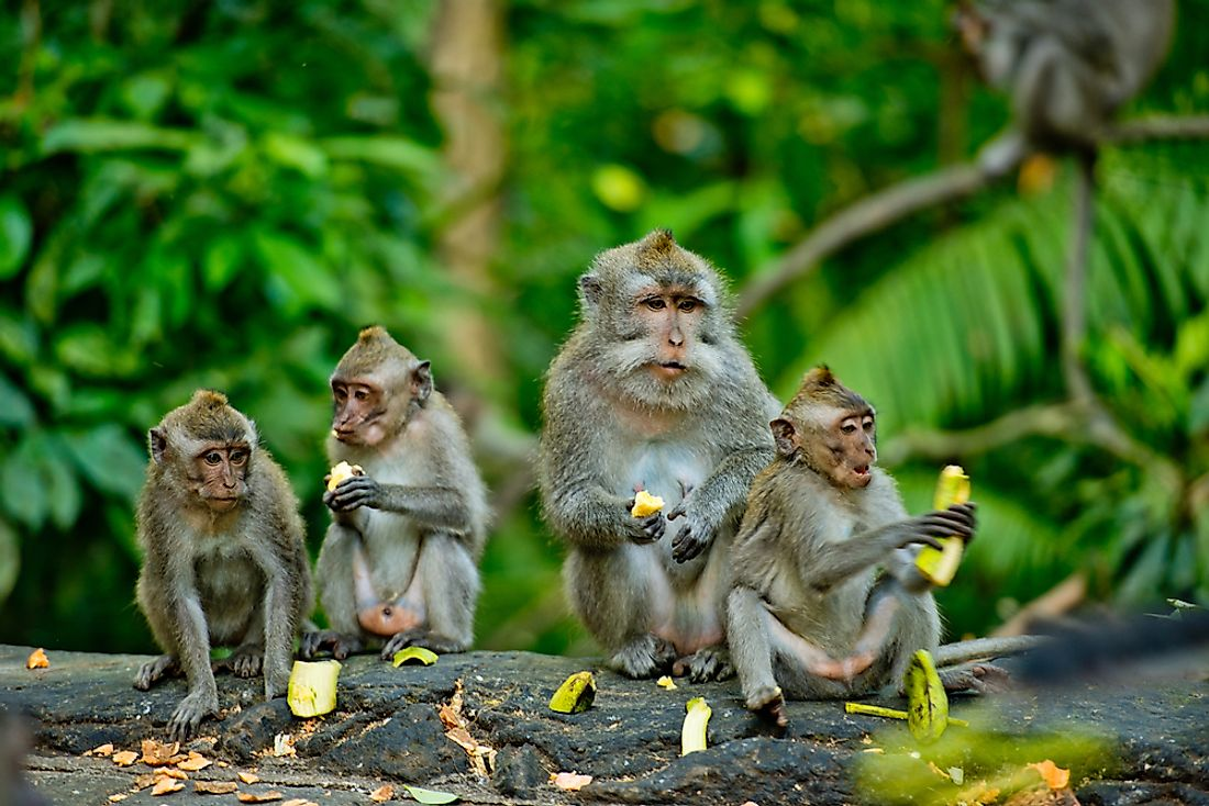 Monkeys sit in the forest of Bali, Indonesia. Indonesia has some of the world's best examples of biodiversity.