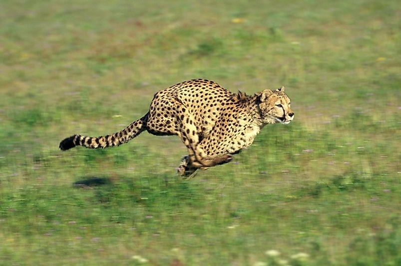 #1 Cheetah