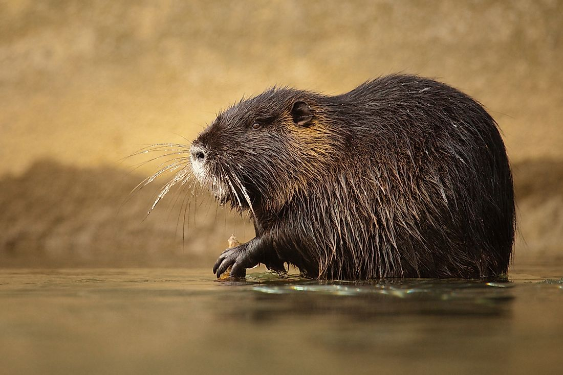 What the Return of the Nutria