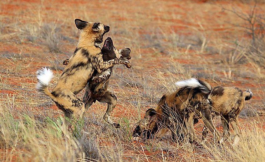 #6 African Wild Dog