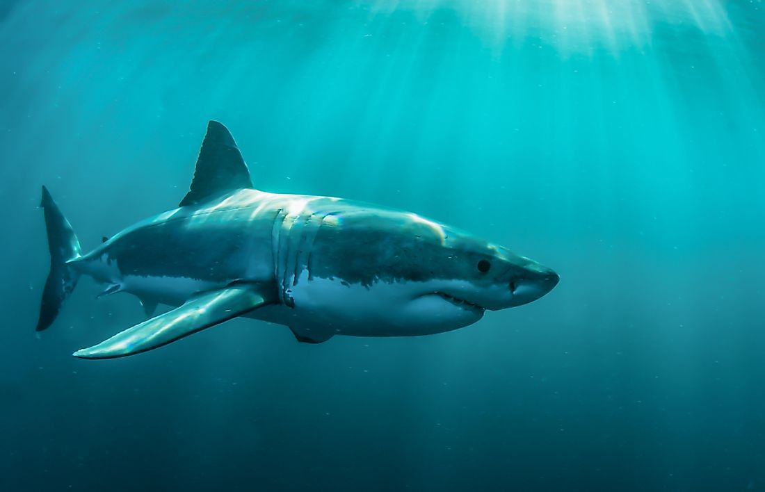 Great White Sharks can reach swimming speeds as fast as 25 miles per hour.