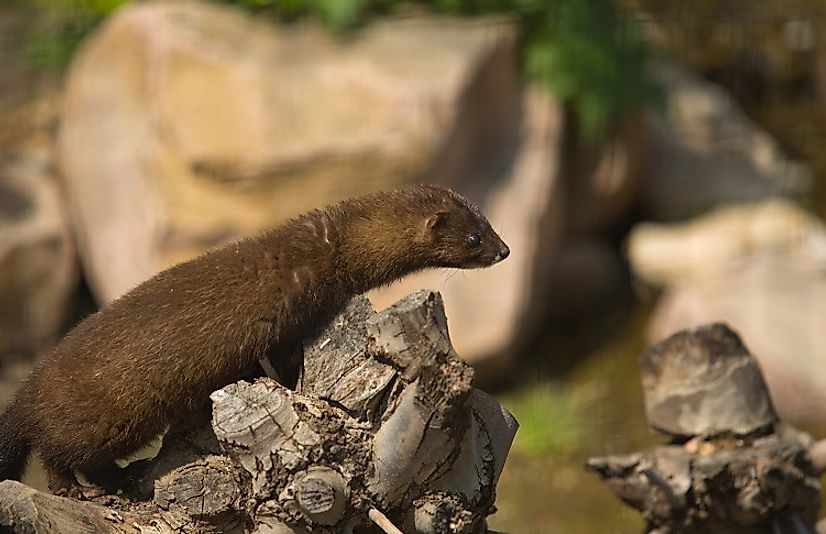 Only a small population of European mink remain in France, living in an isolated pocket along the Spanish border.