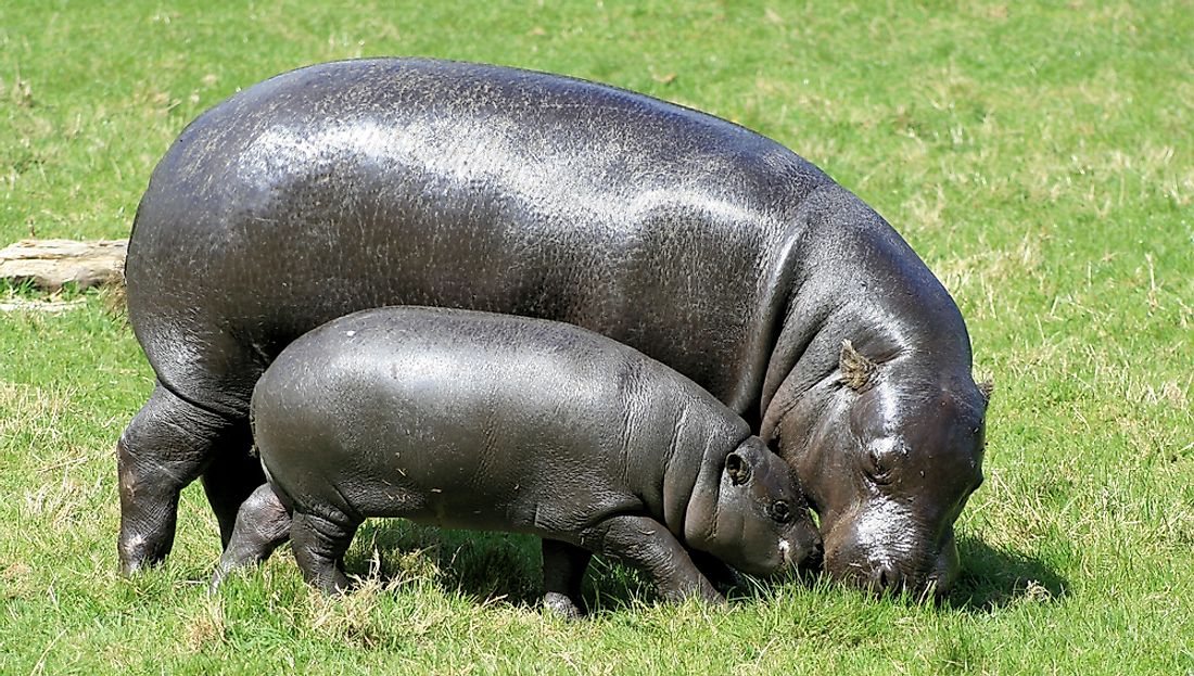 "According to the IUCN, most Pygmy Hippos today live in Liberia. Troublingly, they are an ""Endangered Species"" whose numbers continue to decline further still."