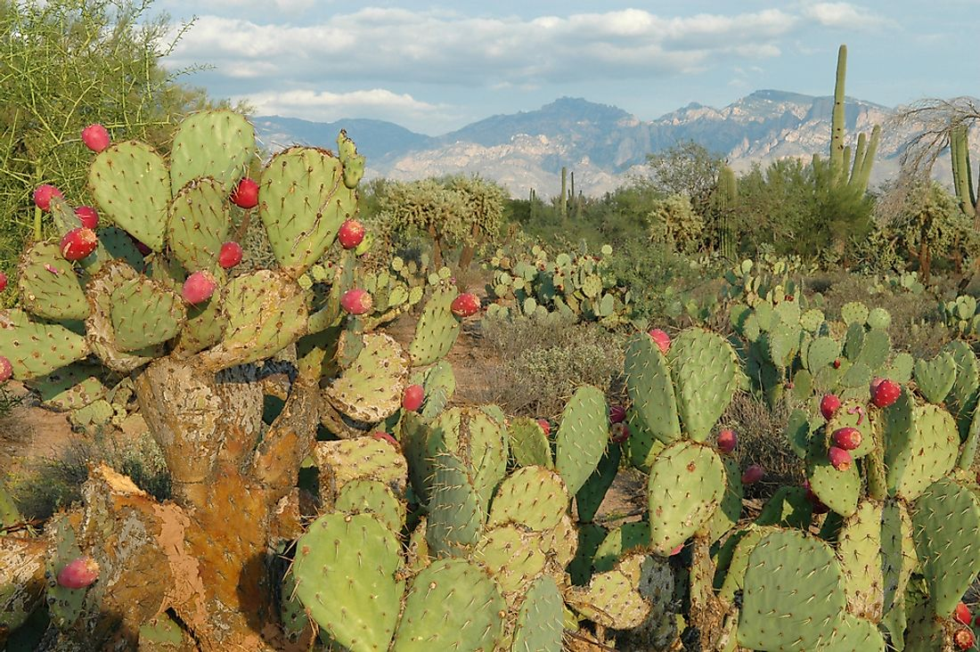 Xerophytes, like the Prickly Pear cactus, have adapated to survive in the harshest of environments.