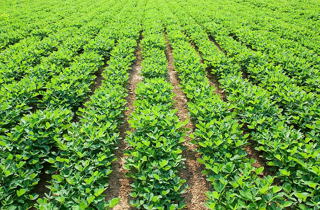 A field of peanut plants. Peanuts grow beneath the ground.