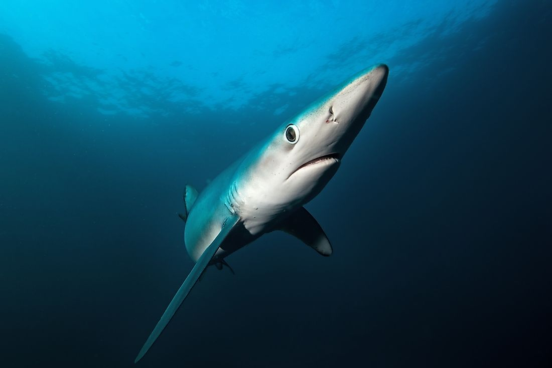 A blue shark in the waters off of South Africa.