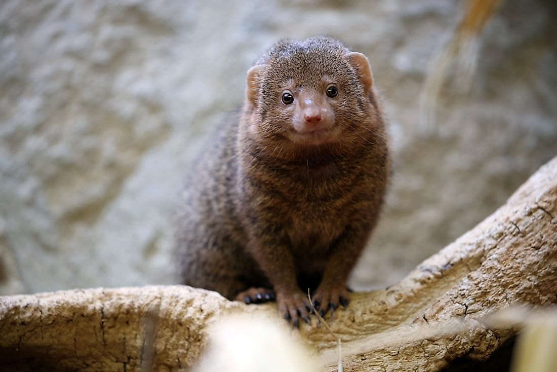 Relatives of the mongoose include meerkats and civets.