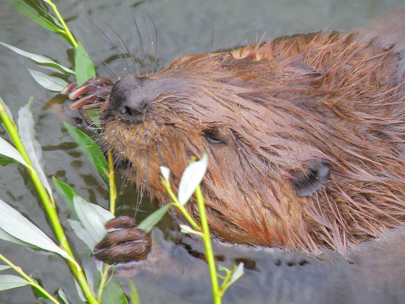 Beavers spend much of their time building the homes in which they will raise their young and stay away from hungry predators.