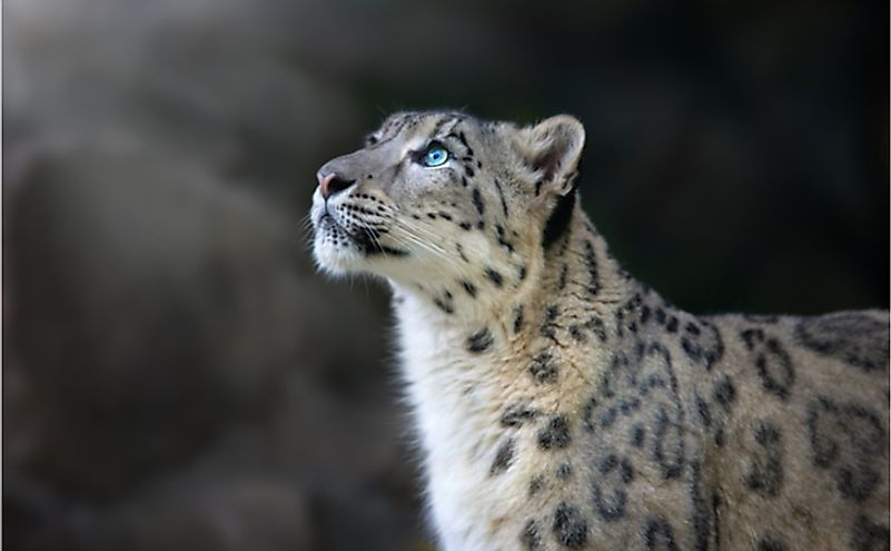 The majestic snow leopard.