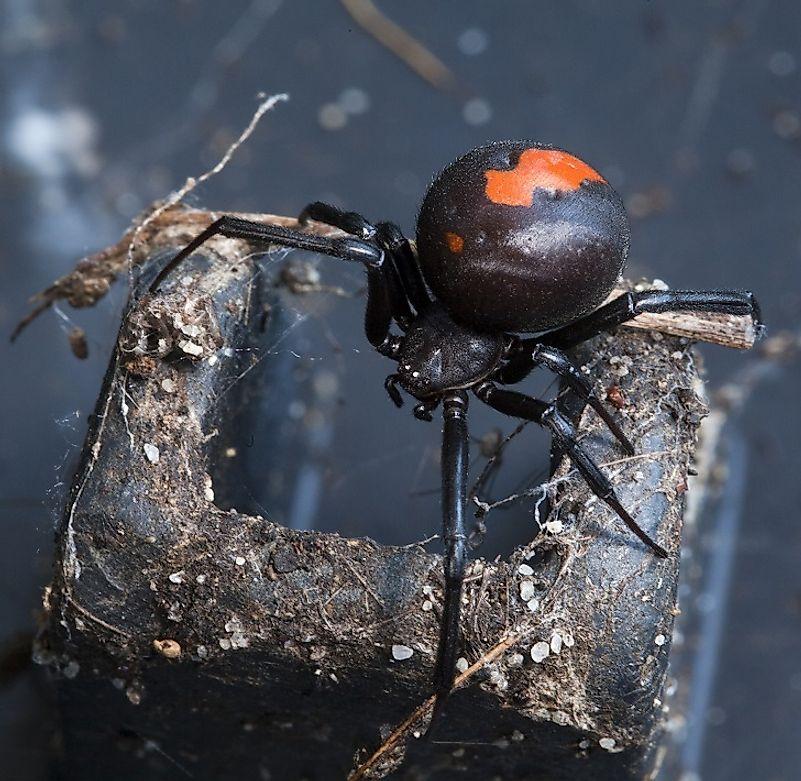 Deadliest spider in the world - photo#27