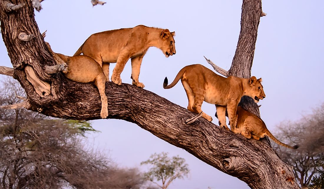 Tanzania is home to tree-climbing lions.