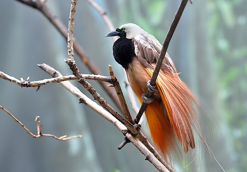 The Greater bird-of-paradise is one of the most iconic species of birds native to New Guinea.