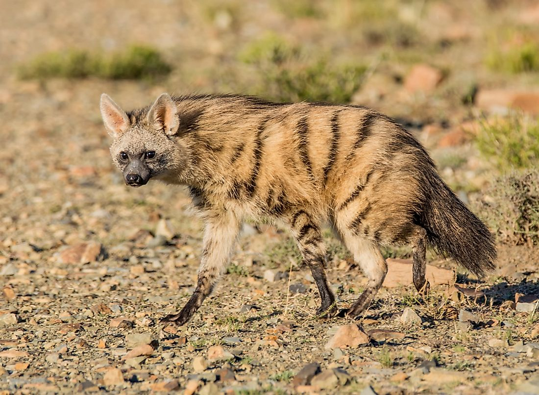 An aardwolf is similar in appearance to a hyena.