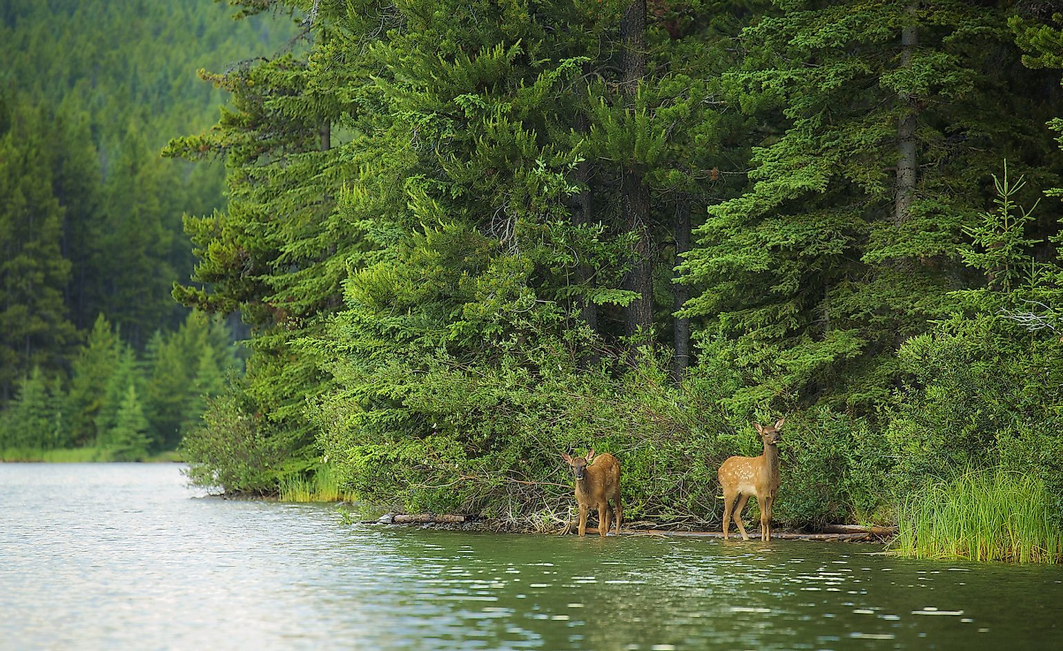 Two elk calves emerge from the forest and drink from a forest lake in Banff National Park, Alberta. Image credit: Chase Dekker/Shutterstock.com