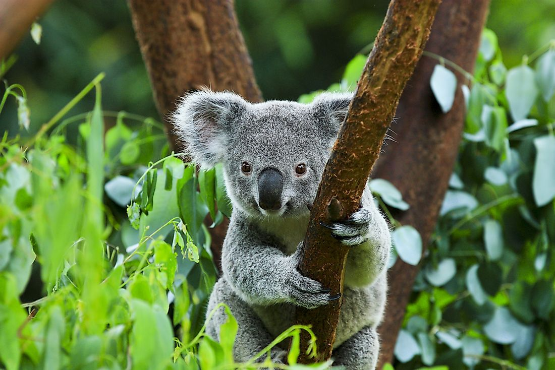 A koala is an example of a marsupial.