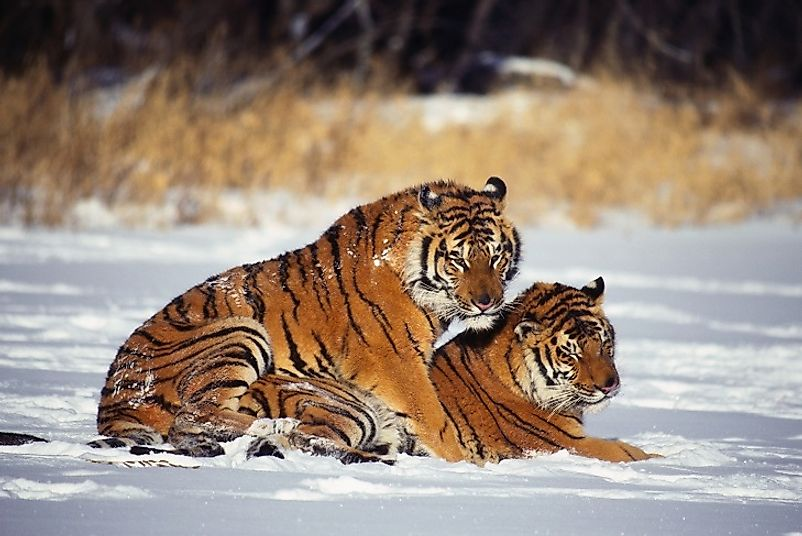 From Siberia to the tropical jungles of South Asia, wild tiger numbers are seeing positive population growth across much of their natural ranges.