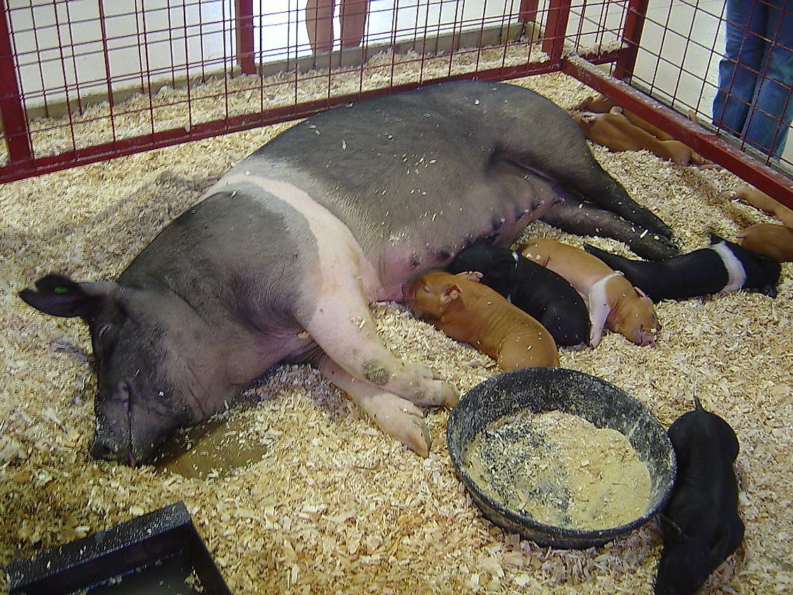 A mother pig suckling her young ones.