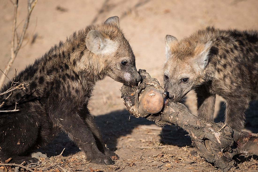 two young hyena pups