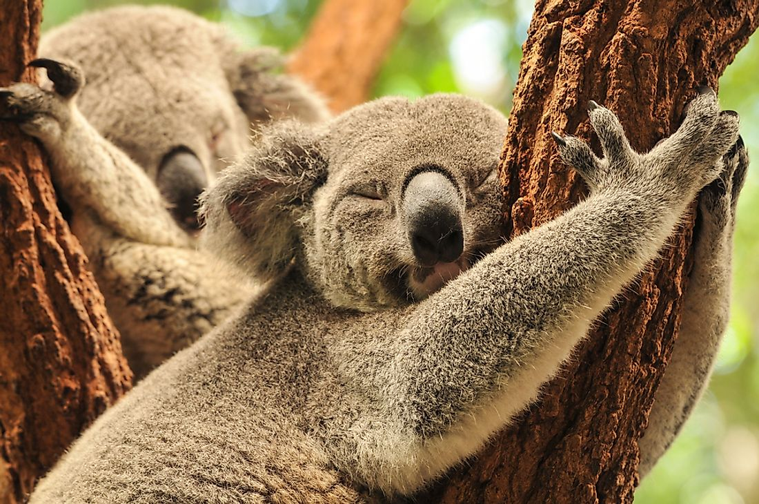 Koalas sleep for about 22 hours each day.
