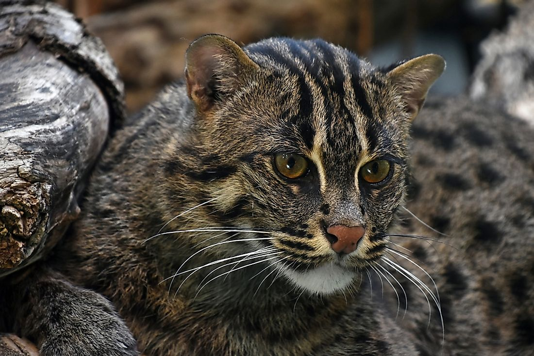 Prionailurus viverrinus, or fishing cat, can be found in south-east Asia.