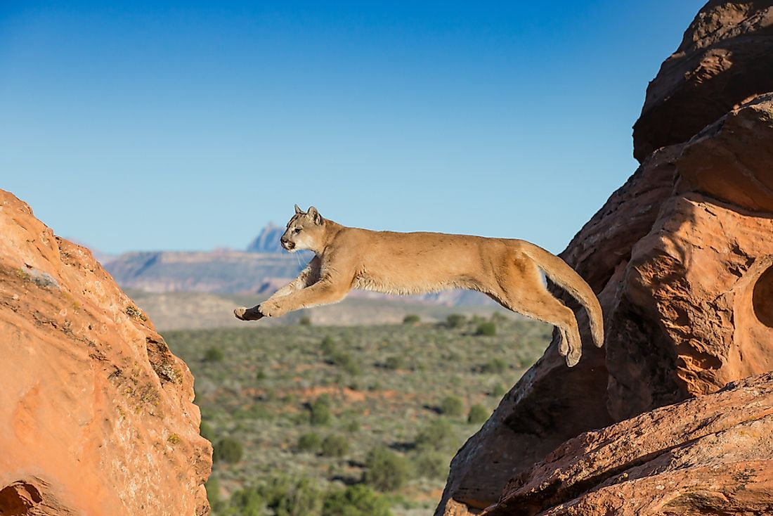 A mountain lion jumping in Utah.