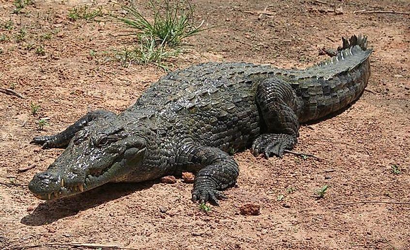 #12 Desert Crocodile